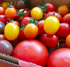 採れたて新鮮・完熟収穫 とまとのこころ彩色セット 約1.2kg[愛知県田原市]
